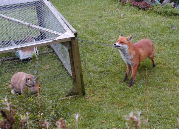this-fox-is-trying-to-open-the-rabbits-cage