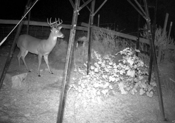 a-buck-deer-photographed