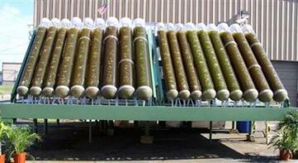 Algae to convert carbon dioxide into biofuel