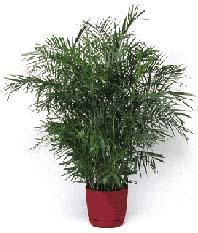 bamboo palm 2112
