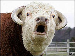 burping cow