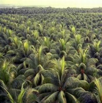 coconut plantation for bio diesel 9
