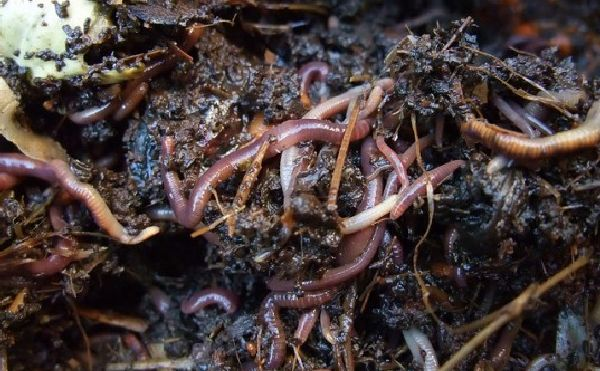 Earthworm Can clean waste