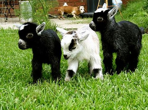 goats and pets go green