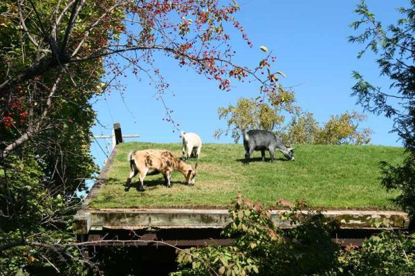 Green Roof Goat Pasture