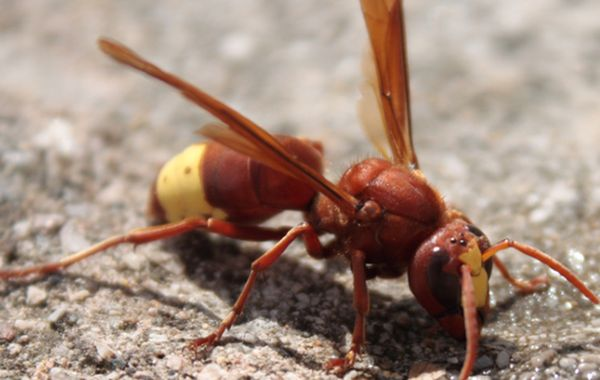HORNET HAS NATURAL SOLAR CELLS IN ITS BODY