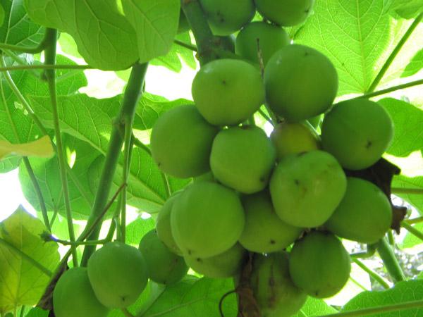 Edible Oil Plants : Best non edible sources of biofuel ecofriend