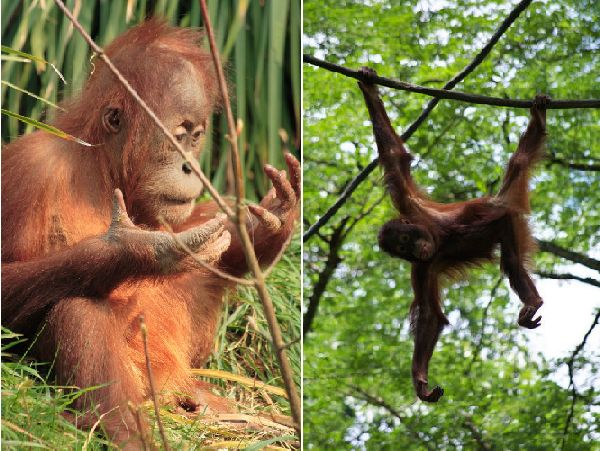 Orangutans use complex engineering skills to build nests in the Indonesian treetops