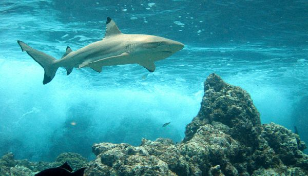 Overfishing causing reef shark numbers in the Pacific to decline ...