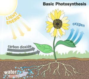 photosysthesis respiration How are respiration and photosynthesis related question date: 2002-09-07: answer 1: during photosynthesis, a plant is able to convert solar energy into a chemical form.