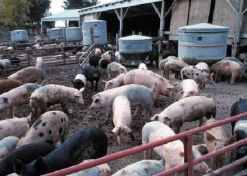 producing electricity from pig waste