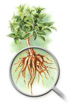 the coleus forskohlii plant