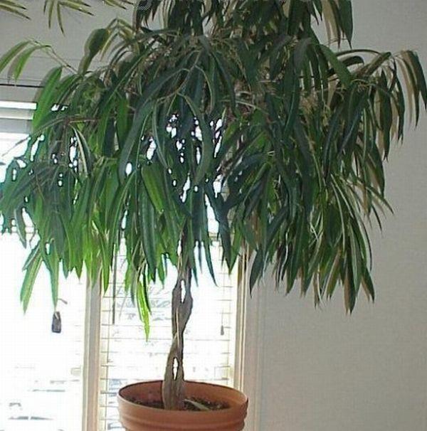 The Ficus Alii