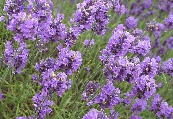 LavenderBudsm