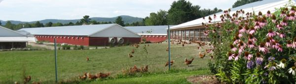chickens-with-echinacea