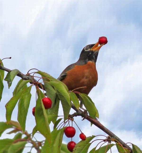 robin_with_cherry