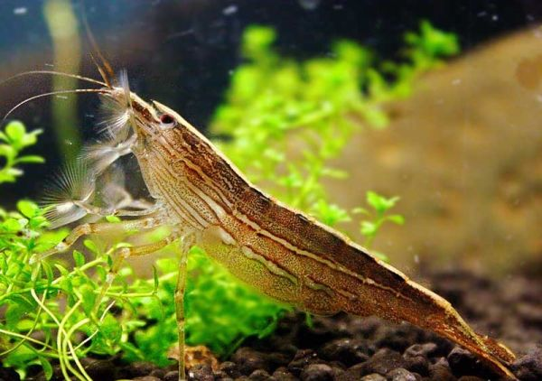 Bamboo-Shrimp