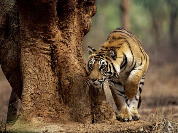 Indian_Tiger_on_the_Prowl_Wallpaper__yvt2