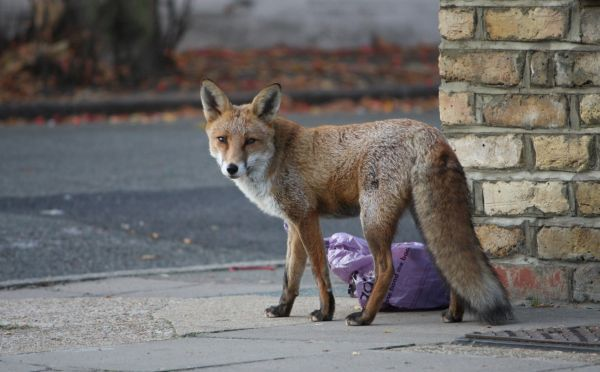 a-fox-seen-in-a-street