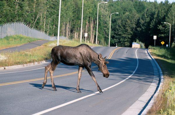 moose-crossing-a-road