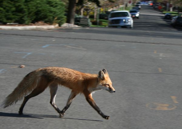 red-fox-crossing
