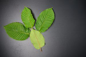 Mitragyna speciosa or Kratom leaves