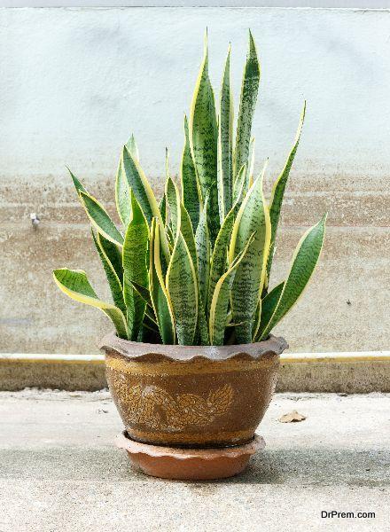 Snake plant (