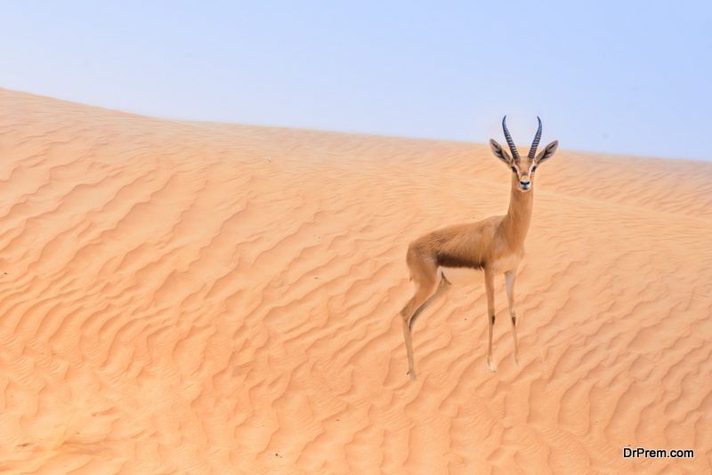 Roaming sand gazelles