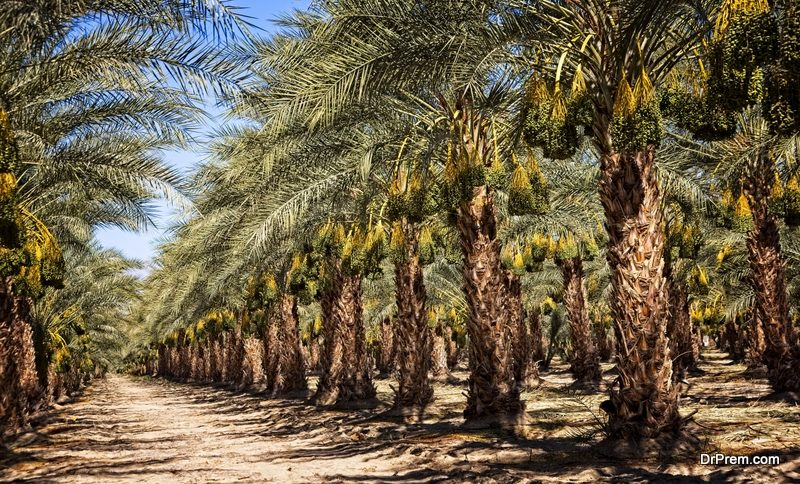 date palm farms