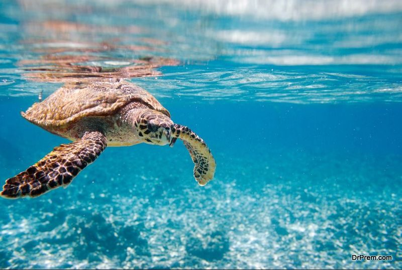 cotton buds are spotted in the stomachs of Loggerhead turtles