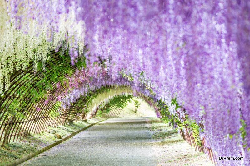 Chinese-wisteria